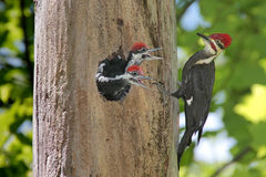 Woodpeckers com fome do bebê foto de stock royalty free