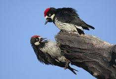 Woodpeckers da bolota (formicivorus do Melanerpes) Fotos de Stock