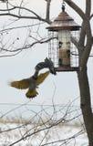 Woodpeckers do norte da cintilação imagem de stock