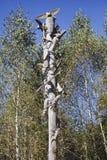 Woodpeckers e batalha das brocas NICOLA-LENIVETS Editorial 19 09 imagens de stock