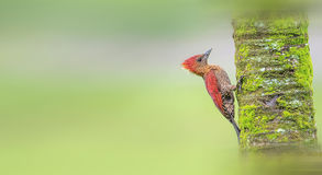 Woodpeckers. Hunt for food in the woods Royalty Free Stock Photography