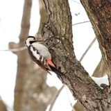 Woodpecker on a tree. Woodpeckers are part of the family Picidae, a group of near-passerine birds that also consist of piculets, wrynecks, and sapsuckers. They royalty free stock photos