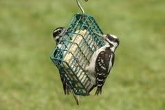 Woodpeckers peludos & x28; Villosus& x29 do Picoides; Fotografia de Stock Royalty Free