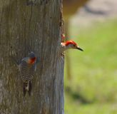 Woodpeckers Royalty Free Stock Photos