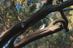Woodpeckers on a pine tree in russia forest. Horizontal shot Stock Images