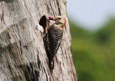 woodpeckers Vermelho-inchados Imagem de Stock Royalty Free