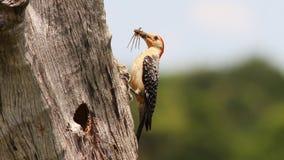 woodpeckers Vermelho-inchados Foto de Stock