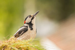 Woodpeckers view Stock Image