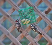Woodpeckers. Woodpecker birds eating from a bird feeder Royalty Free Stock Photos