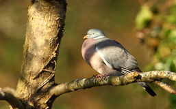 Woodpidgeon. photos libres de droits