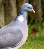 Woodpidgeon. Stock Image