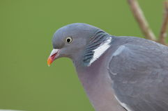 Woodpidgeon. Stock Images