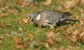 A Woodpidgeon Columba palumbus with an Acorn in its beak which it is just about to swallow. A pretty Woodpidgeon Columba palumbus with an Acorn in its beak Stock Photo