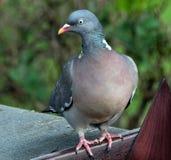 Woodpigeon στον αστικό κήπο Στοκ φωτογραφία με δικαίωμα ελεύθερης χρήσης