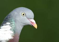 woodpigeon Obrazy Royalty Free