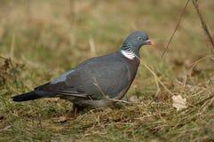 Woodpigeon Zdjęcie Royalty Free