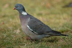 Woodpigeon Fotografia Royalty Free