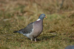 Woodpigeon Stock Image