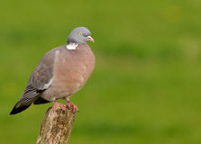 Woodpigeon Royalty Free Stock Images