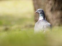 Woodpigeon Zdjęcia Royalty Free
