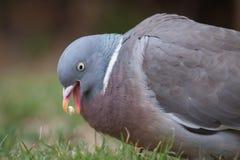 Woodpigeon Fotografia Stock