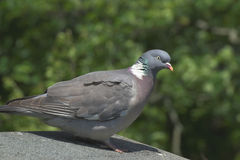Woodpigeon Royalty-vrije Stock Foto