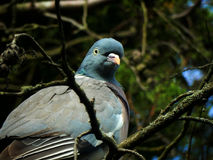 Woodpigeon Fotografie Stock Libere da Diritti