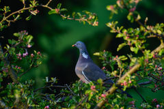 Woodpigeon in the apple tree Stock Photography
