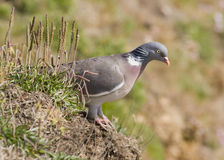Woodpigeon ( Columba oenas ) Royalty Free Stock Photos