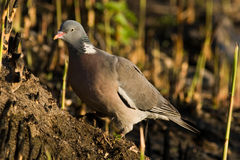 Woodpigeon (Columba palumbus) Royalty Free Stock Photo