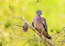 Woodpigeon  - Columba palumbus. Stock Photo