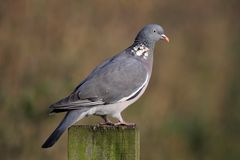 Woodpigeon - Columba palumbus Royalty Free Stock Photos