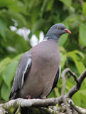 Woodpigeon columba palumbus Royalty Free Stock Photo