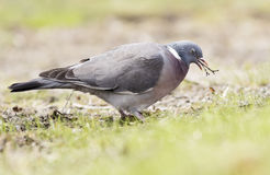 Woodpigeon Stock Photos