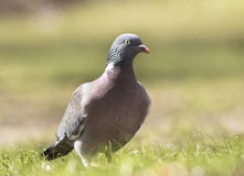Woodpigeon Royalty Free Stock Photography