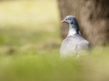 Woodpigeon Royalty Free Stock Photos