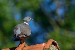 Woodpigeon na domowym dachu Obrazy Stock