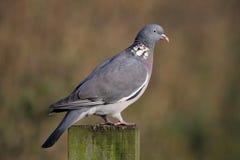 Woodpigeon - palumbus Columba Στοκ φωτογραφίες με δικαίωμα ελεύθερης χρήσης