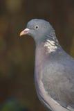Woodpigeon - palumbus di Columba Fotografia Stock