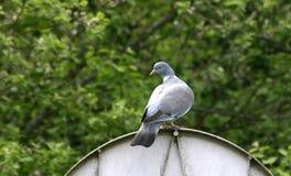 Woodpigeon Stock Photo