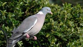 Woodpigeon que alimenta en jardín urbano de la casa almacen de video