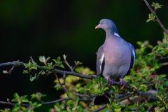 Woodpigeon siedzi na kępce Zdjęcia Royalty Free