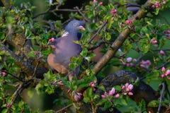Woodpigeon siedzi w jabłoni Obrazy Stock