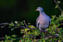 Woodpigeon sit on the knot Royalty Free Stock Photos