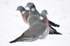 Woodpigeon, winter Stock Image