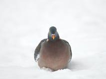 Woodpigeon, zima Zdjęcia Royalty Free