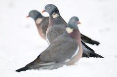 Woodpigeon, zima Obraz Stock