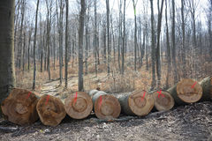 Woodpile of beech logs. Royalty Free Stock Image