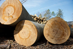 Woodpile of beech logs. Royalty Free Stock Photo