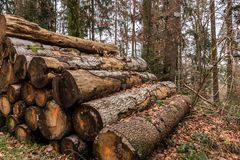 Woodpile of big trees in the forest. Big woodpile of big trees in the forest Royalty Free Stock Photos
